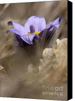 Background Pyrography Canvas Prints - The Pulsatilla Canvas Print by Odon Czintos