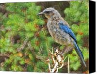 Scrub-jay Photo Canvas Prints - The Scrub Jay Canvas Print by Ernie Echols