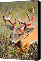 Whitetail Buck Canvas Prints - The Strip Canvas Print by Emily Stauring