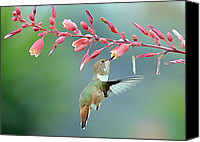 Annas Hummingbird Canvas Prints - The Task At Hand Canvas Print by Fraida Gutovich