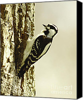 Downy Canvas Prints - The Tiny Downy Woodpecker Canvas Print by Robert Frederick