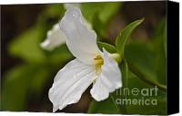 Royal Botanical Gardens Canvas Prints - The trillium Canvas Print by Christine Kapler