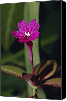Royal Botanical Gardens Canvas Prints - The Vibrant Pink Of The Espiscia Canvas Print by Jason Edwards