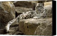 Stare Canvas Prints - The Watchful Stare Of A Snow Leopard Canvas Print by Jason Edwards