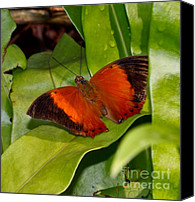 Southeast Asia Canvas Prints - The Wizard butterfly Canvas Print by Louise Heusinkveld
