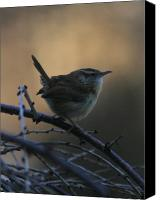 Wren Canvas Prints - The Wren Canvas Print by Christopher Kirby
