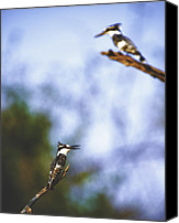 Kingfisher Canvas Prints - This is Botswana No. 10 - Pied Kingfisher - Ceryle rudis Canvas Print by Paul W Sharpe Aka Wizard of Wonders