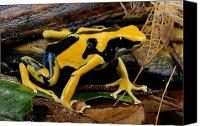 Chromatic Contrasts Canvas Prints - This May Be The Poison Frog Dendrobates Canvas Print by George Grall