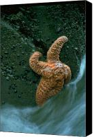 Ocean  Canvas Prints - This starfish has a good grip Canvas Print by Sven Brogren