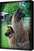 Camelid Canvas Prints - This Way or That Canvas Print by Kathy Sampson