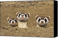 Black-footed Ferret Canvas Prints - Three Black-footed Ferrets In Burrow Canvas Print by Wendy Shattil and Bob Rozinski
