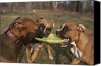 Boxer Canvas Prints - Three Boxer Dogs Play Tug-of-war Canvas Print by Roy Gumpel