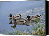 Kerry Mcphee Canvas Prints - Three Ducks Canvas Print by Kerry McPhee