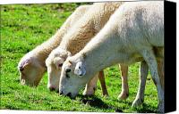 Family Farm Canvas Prints - Three Ewes Canvas Print by Thomas R Fletcher
