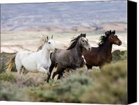 Wild Horses Canvas Prints - Three Mares Running Canvas Print by Carol Walker
