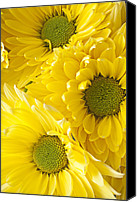 Chrysanthemums  Canvas Prints - Three Yellow Daisies  Canvas Print by Garry Gay