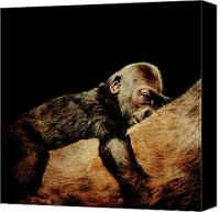 Apes Canvas Prints - Through the Eyes of Hasani . Square Canvas Print by Wingsdomain Art and Photography