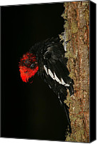 Fuego Canvas Prints - Tidying Up - Magellanic Woodpecker Preening Canvas Print by Bruce J Robinson