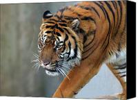 National Zoo Canvas Prints - Tiger 2 Washington D.C. National Zoo Canvas Print by Richard Singleton