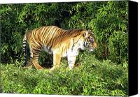 National Zoo Canvas Prints - Tiger 3 in the Bushes Washington D.C. National Zoo Canvas Print by Richard Singleton