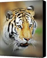 Stare Canvas Prints - Tiger Eyes Canvas Print by Michael Peychich