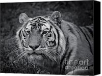 Predator Canvas Prints - Tiger in the Grass Canvas Print by Darcy Michaelchuk