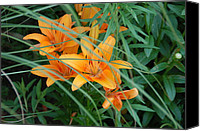 Flower Gardens Special Promotions - Tiger Lillies Canvas Print by Aimee L Maher