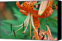 Michele Carter Canvas Prints - Tiger Lilly Canvas Print by Michele Carter