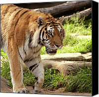 Detroit Tigers Canvas Prints - Tiger on the hunt Canvas Print by Gordon Dean II