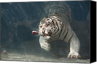 Bigcat Canvas Prints - Tiger Shark Canvas Print by Brian Ernst