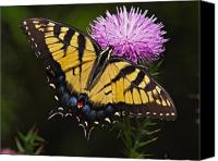 Nature Photo Canvas Prints - Tiger Swallowtail Canvas Print by William Jobes
