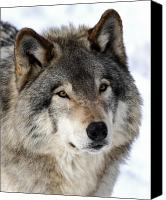 Jim Cumming Canvas Prints - Timber Wolf Canvas Print by Jim Cumming