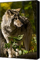Wolf Cubs Canvas Prints - Timber Wolf Canvas Print by Michael Cummings