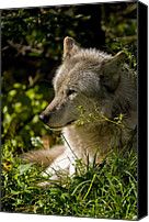 Wolf Cubs Canvas Prints - Timber Wolf Portrait Canvas Print by Michael Cummings