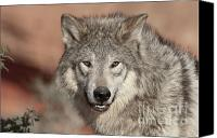 North American Wildlife Canvas Prints - Timber Wolf Portrait Canvas Print by Sandra Bronstein
