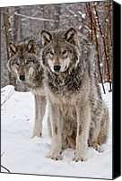 Wolf Cubs Canvas Prints - Timber Wolves in Winter Canvas Print by Michael Cummings