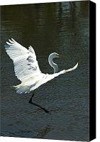 Great Egret Canvas Prints - Time To Land Canvas Print by Carolyn Marshall