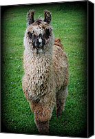 Camelid Canvas Prints - Timmy Canvas Print by Kathy Sampson