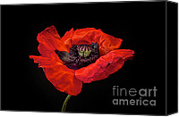 Red Canvas Prints - Tiny Dancer Poppy Canvas Print by Toni Chanelle Paisley