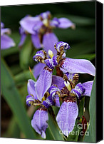 Florida Flowers Canvas Prints - Tiny Purple Iris Canvas Print by Sabrina L Ryan