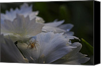 Macro Photography Canvas Prints - Tiny Spider on White Flower Canvas Print by Scott McGuire