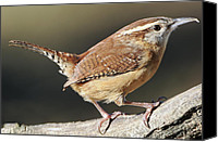 Carolina Wren Canvas Prints - Tiny Wren Canvas Print by Bonnie Barry