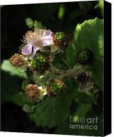 Patricia Schnepf Canvas Prints - To Be Blackberries Canvas Print by Patricia  Schnepf