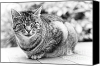 Black And White Cats Canvas Prints - Tomcat Canvas Print by Frank Tschakert