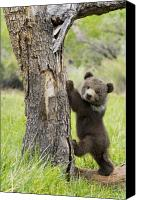 Cub Canvas Prints - Too cute for words Canvas Print by Melody and Michael Watson