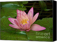 Lotus Blossoms Canvas Prints - Touch of Pink Canvas Print by Karen Wiles