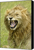 Animals Canvas Prints - Tough Guy Canvas Print by Michele Burgess