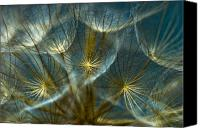 Blue Photo Canvas Prints - Translucid Dandelions Canvas Print by Iris Greenwell
