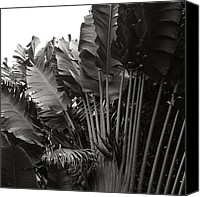 Monocromatico Canvas Prints - Travellers Palm Ravenala madagascariensis Canvas Print by Sharon Mau