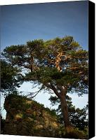 Ruins Canvas Prints - Tree at MacCarthy Mor Castle Canvas Print by Douglas Barnett